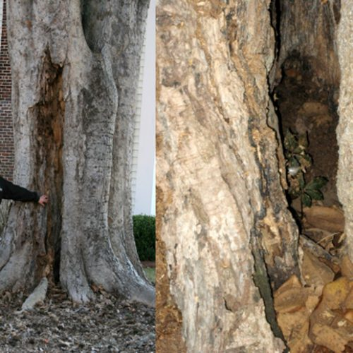 Insect and Disease Management in trees by Treeworks of Vermont